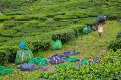 _DSC0977 (Roy Prasad) Tags: travel india workers tea harvest kerala hills prasad devan munnar kannan kannandevanhills royprasad