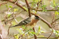 Warbler mania continues (rdroniuk) Tags: birds oiseaux smallbirds warblers passerines baybreastedwarbler passereaux parulines parulinepoitrinebaie setophagacastanea
