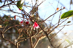 (lilacandhoney) Tags: voyage flowers winter light flower nature colors beauty japan garden asian lights twilight asia moments day colours natural blossom dusk hiver jardin journey memory daytime asie moment printemps japon