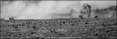 1988_0463-29_spot_20160113 (Réal Filion) Tags: horse mist canada tree nature field fog rural cheval country québec paysage campagne arbre brouillard champ brume environnement beauce
