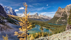 The Golden Tree of Lake O'hara (PIERRE LECLERC PHOTO) Tags: travel camping autumn canada mountains fall nature forest landscape rockies outdoors golden bc natural hiking britishcolumbia exploring roadtrip adventure destination backcountry rockymountains wilderness needles discovery lakeohara canadianrockies natgeo yohonationalpark marylake larchtrees pierreleclercphotography canon5dsr