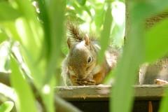 very tough,Tokyo Inokashira Park Zoo (sapphire_rouge) Tags: animal zoo squirrel squirrels  kichijoji       inogashirazoo inogasirapark    kichijuoji