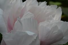 Paeonia (Sandra Kirly Pictures) Tags: flowers flower spring outdoor poland warsaw clover botanicalgarden warszawa paeonia trifoliumrepens ogrdbotaniczny