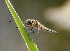 four-spotted Chaser (Mark Walpole) Tags: four spotted chaser rspb saltholme