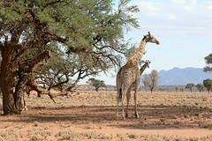 Hiding (zenseas : )) Tags: africa camping wild vacation holiday fun cool driving desert safari tall giraffe hiding namibia selfdrive giraffacamelopardalisangolensis namibrand namibrandnaturereserve selfdrivesafari angolangiraffe namibrandfamilyhideout