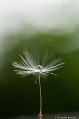 Sous les nuages ! (pascaleforest) Tags: macro fleur nikon bokeh vert passion pissenlit gputte