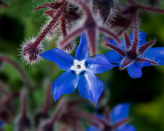 flower (jazz_0902) Tags: flowers blue nature blu violet natura