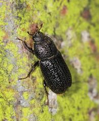 Rhinoceros Beetle - Sinodendron cylindricum (f) (Prank F) Tags: macro nature closeup female insect stag wildlife beetle rhinoceros wildlifetrust sinodendroncylindricum glapthorncowpastures northantsuk