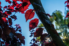 Red (Leonardo Caggianelli) Tags: blue trees red sky italy sun detail tree leaves leaf italia details samsung marche samsungnx samsungnx3000