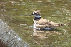Mrs. Kildeer takes a Dip (Alemap.1) Tags: portrait lake macro bird nature swim kildeer