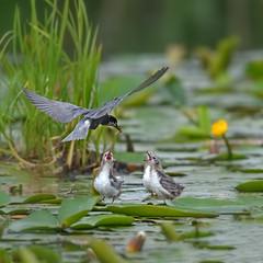 Mommy i want him (skees499 ) Tags: holland feeding ngc birding nederland natuur alblasserwaard d500 blacktern youngbirds zwartestern keesmolenaar
