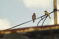 En Pareja (sierramarcos14695) Tags: travel bird minolta pareja guatemala comida paisaje cable aves pico urbano pajaro gusano quetzaltenango a58 rokkor ony cidudad rojjor