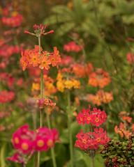 Day 6 33 Logan Botanic Garden pink and orange flowers (bob watt) Tags: uk plants flower june canon scotland 7d 2016 18135mm loganbotanicgarden canoneos7d kirkcudbrightholidayjune2016