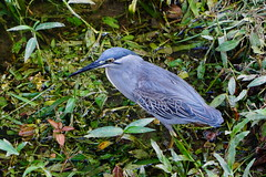 Little Blue Heron (Redux2033) Tags: blue heron sony malaysia penang a6000 a5100 sel70200g