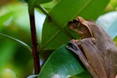 On Guard (NorthWest Express) Tags: green thailand leaf asia southeastasia chillin frog jungle thai tropic