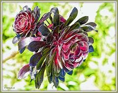 _JVA7690_DxO (mrjean.eu) Tags: park pink blue white france flower macro fleur rose yellow fleurs jaune garden rouge nikon jardin vert bleu botanic lorraine botanique parc metz 105mmf28 flowerws grteen