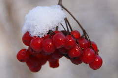Cold Macro monday (lique1304) Tags: ice nature fruit outdoor hmm macromondaycold