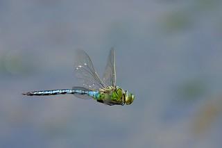 Emperor Dragonfly (Explored 11-06-16)