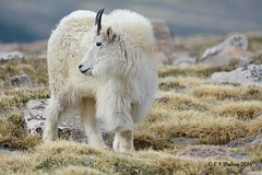 June 12, 2016 - A handsome Mountain Goat on top of Mt Evans. (Ed Dalton)