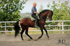 Galope, caballo espaol // Galop, PRE horse (Marina Quilon Photography) Tags: horses horse caballo cheval caballos pre rider jinete cavalo pferd equestrian equine doma dressage galope galop equitacion