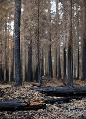 Hands Away (Villem Voormansik) Tags: trees black tree broken pine forest break treetrunk burnt fir trunk forestfire spruce