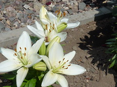 White Lilies ! (Mara 1) Tags: white petals lily heads buds blooms