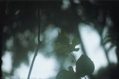 Blackberry's tree leaf. (larissanunesdealbuquerque) Tags: winter plant tree leave film nature analog forest leaf lomography woods rainforest blackberry kodak zenit analogue analogphotography forester kodakfilm tropicalforest filmphotography zenit12xp analogphotograph filmphotograph