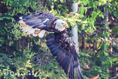 Baldy (jah_1315) Tags: bald eagle wildlife lake woods nikon beautiful explore best