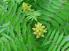 Sumac Smooth DSC03597 (BayonneBirder) Tags: flower sumac smooth