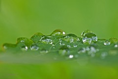 Tropfen auf Grn (DianaFE) Tags: makro blatt regen wassertropfen tropfen schrfentiefe tiefenschrfe freihandmakro dianafe
