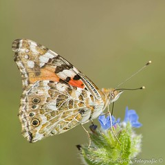 Distelvlinder - Painted Lady - Vanessa cardui (H.Rigters) Tags: nature butterfly nikon natuur henny vlinders vlinder paintedlady distelvlinder hoekvanholland vanessacardui d600 nikon300mmf4 rigters hennyr