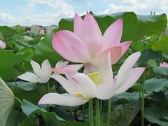 lotus season (oneroadlucky) Tags: pink plant flower nature waterlily lotus