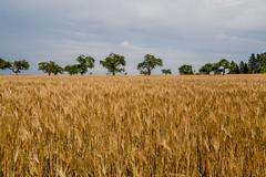 IMG_1783 (ZoRRaW photography) Tags: trees red nature field wheat poppy poppies luxembourg earofwheat neuhasugen