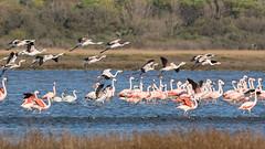 Parina Chica - Phoenicoparrus jamesi - Puna Flamingo (Jorge Schlemmer) Tags: argentina crdoba miramar phoenicoparrusjamesi parinachica punaflamingo
