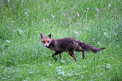 The Fox is on the Way (Rolf-Schweizer) Tags: world uk sunset wild sky usa art nature animal canon schweiz switzerland tiere washington flickr artist texas fotografie unitedstates suisse heart unitedkingdom swiss kunst taxi natur creative greenpeace romance fresh explore textures silence fox bauer getty keystone universal svizzera job wwf tier fuchs warnerbros mexiko farben exif frhling appenzell naturephotography understand gettyimage toggenburg artphotography appenzellerland thechurchofjesuschristoflatterdaysaints frhlingsbeginn neckertal bauernverband inexplore 500px twentycenturyfox hoffeld auffrischen kirchejesuchristiderheiligenderletztentage stgallertagblatt rolfschweizer schweizerischerbauernverband rolfschweizerphotography rolfschweizerfotografie appenzellertourismus