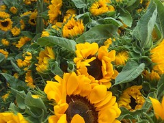 Beautiful Sunflowers (Kimberly C. Lee) Tags: farmersmarket sunflowers unionsquare unionsquaregreenmarket unionsquarefarmersmarket nycfarmersmarket