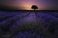 Lavender fields (ilian_bozhanov) Tags: lavender fields night trees sun sunset violet landscape outdor