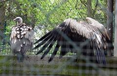 Schneegeier (Gyps himalayensis) P1000861 (martinfritzlar) Tags: bird zoo vulture tiergarten himalayan tier vogel nrnberg geier gyps accipitridae greifvogel himalayensis altweltgeier schneegeier himalayageier