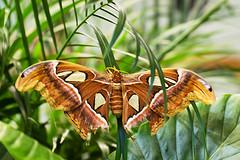 DSC_5180 (littleirons) Tags: butterfly acquarium bergen norvegia farfalla norwey