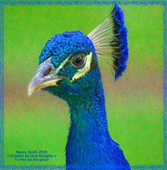 Indian Peafowl (NancySmith133) Tags: painterly peacocks indianpeafowl magnoliapark lakeapopka orangecountyfl centralfloridausa