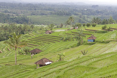 DHF_2852 (dholth) Tags: bali indonesia sawah paddifields