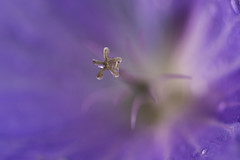 Starlight (creyesk) Tags: blue abstract blur flower macro closeup star colorful bokeh extreme violet