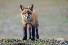 Curious Fox (fascinationwildlife) Tags: red wild cute nature animal mammal wildlife natur young fox curious mammals fuchs rotfuchs