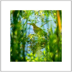 Through the Looking Grass (brev99) Tags: bird reeds bokeh border obstacle greenheron whitekey colorefex d7100 ononesoftware nikviveza tamron180f35 saturatedslidefilmeffect photoshopelements12 perfecteffects10