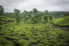 Srimangal-6266 (BohemianTraveler) Tags: asia tea bangladesh srimangal srimongol sreemangal