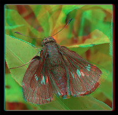 Resting Female Zabulon Skipper, Poanes Zabulon Butterfly 3 - Anaglyph 3D (DarkOnus) Tags: macro beautiful closeup female butterfly bug stereogram 3d phone pennsylvania butt skipper cell 8 anaglyph stereo resting mate thursday stereography buckscounty huawei poanes zabulon beautifulbugbuttthursday darkonus