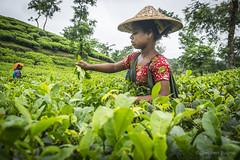 Srimangal-6175 (BohemianTraveler) Tags: asia tea bangladesh srimangal srimongol sreemangal