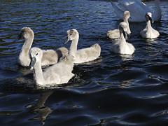 Cygnets (Pivi ) Tags: kayak paddling cygnet swan family oslo norway sea island fjord
