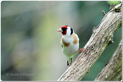 European Goldfinch  Stieglitz   (M.A.K.photo) Tags: nature birds animals germany deutschland wings nikon europa europe hessen outdoor wildlife vgel birdwatching birdwatcher naturesfinest cardueliscarduelis europeangoldfinch stieglitz supershot nbw bwg naturefinest naturewatcher natureselegantshots nikonflickraward fantasticwildlife distinguishedbirds birdperfect mybestwildlife flickrbronzetrophygroup photospourtousphotosforall