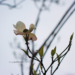 129.365 | our big dogwood (sidemtess | linda) Tags: flowers fog square 50mm evening raw blossom overcast 365 manual dogwood 50mmf14 ilovethistree 60d 129365 sidemtess shuttersisters365 wickedsquare icantwaittillthewholethingblooms